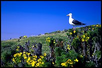Western seagull on giant coreopsis. Channel Islands National Park, California, USA. (color)