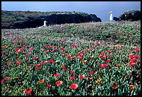 Western seagus and ice plants. Channel Islands National Park, California, USA. (color)