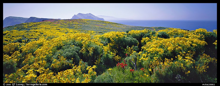 Field of Coreopsis in bloom, Anacapa Island. Channel Islands National Park (color)