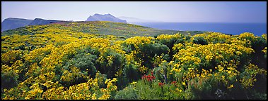 Field of Coreopsis in bloom, Anacapa Island. Channel Islands National Park (Panoramic color)