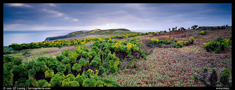 Carpet of iceplant and Coreopsis, Anacapa Island. Channel Islands National Park (color)