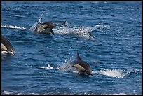 Dolphins jumping out of ocean water. Channel Islands National Park, California, USA. (color)