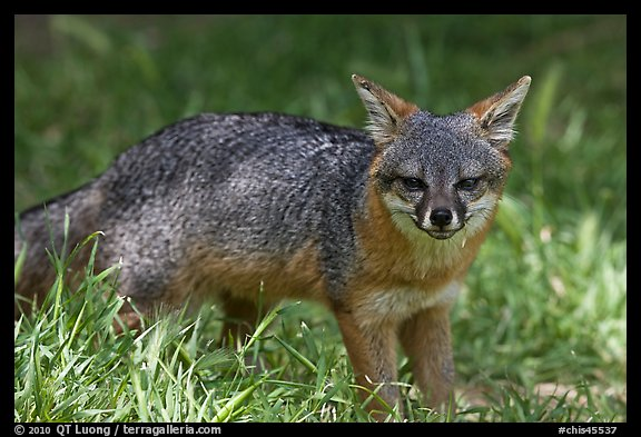 Island fox (Urocyon littoralis santacruzae), Santa Cruz Island. Channel Islands National Park (color)