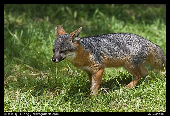 Short-Tailed Fox (Insular Gray Fox), Santa Cruz Island. Channel Islands National Park (color)