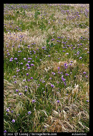 Wildflowers and grasses, Santa Cruz Island. Channel Islands National Park (color)