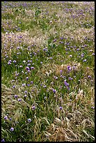 Wildflowers and grasses, Santa Cruz Island. Channel Islands National Park ( color)