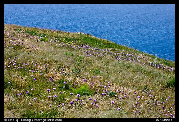 Wildflowers and wind-blown grasses on coastal bluff, Santa Cruz Island. Channel Islands National Park (color)