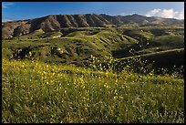 Mustard in bloom and interior hills, Santa Cruz Island. Channel Islands National Park, California, USA. (color)
