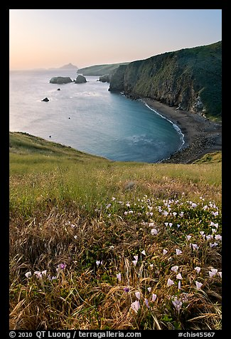 Wild Morning Glories and bay at sunrise, Scorpion Anchorage, Santa Cruz Island. Channel Islands National Park (color)