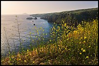 Mustard in bloom and seacliffs, Scorpion Anchorage, Santa Cruz Island. Channel Islands National Park ( color)