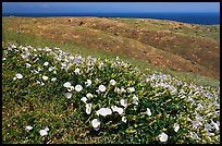 Wild Morning Glory flowers, hills, and ocean, Santa Cruz Island. Channel Islands National Park, California, USA. (color)