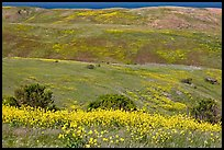 Mustard flowers and rolling hills, Santa Cruz Island. Channel Islands National Park ( color)