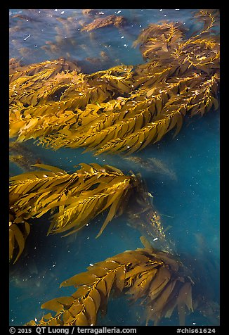 Kelp from above, Santa Cruz Island. Channel Islands National Park (color)