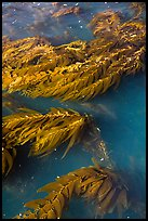 Kelp from above, Santa Cruz Island. Channel Islands National Park ( color)