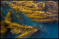 Kelp in shallow waters, Santa Cruz Island. Channel Islands National Park ( color)