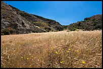Wildflowers and grasses, Cherry Canyon, Santa Rosa Island. Channel Islands National Park ( color)
