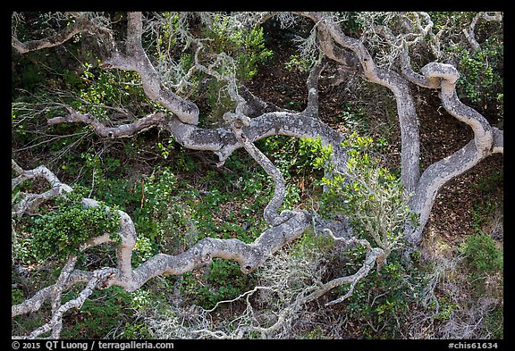 Twisted oak trees, Cherry Canyon, Santa Rosa Island. Channel Islands National Park (color)