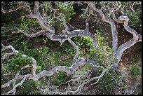 Twisted oak trees, Cherry Canyon, Santa Rosa Island. Channel Islands National Park ( color)