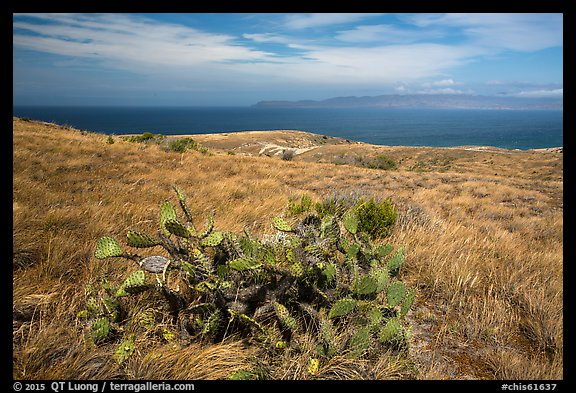 Cactus on marine terrace, Santa Rosa Island. Channel Islands National Park (color)