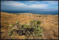 Cactus on marine terrace, Santa Rosa Island. Channel Islands National Park ( color)