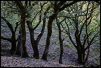 Cloud forest of endemic Island Oak, Santa Rosa Island. Channel Islands National Park ( color)
