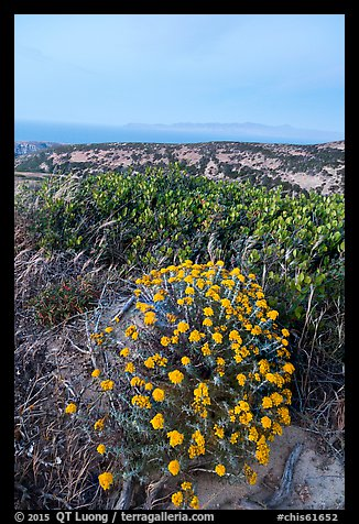 Wildflowers at dusk, Santa Rosa Island. Channel Islands National Park (color)