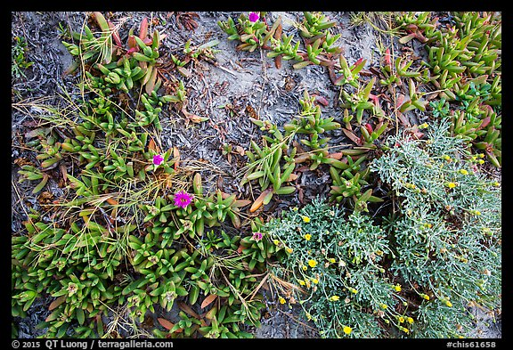 Ground close-up with iceplant and flowers, Santa Rosa Island. Channel Islands National Park (color)