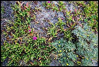 Ground close-up with iceplant and flowers, Santa Rosa Island. Channel Islands National Park ( color)