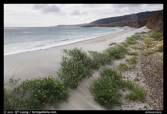 Flowers growing on sand dunes, Water Canyon Beach, Santa Rosa Island. Channel Islands National Park (color)