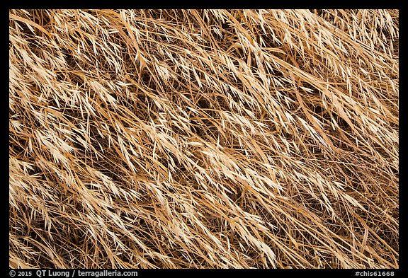 Close-up of tall grasses, Santa Rosa Island. Channel Islands National Park (color)