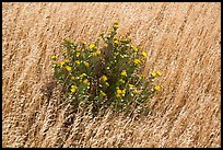 Close-up of flowers and yellow grasses, Santa Rosa Island. Channel Islands National Park ( color)