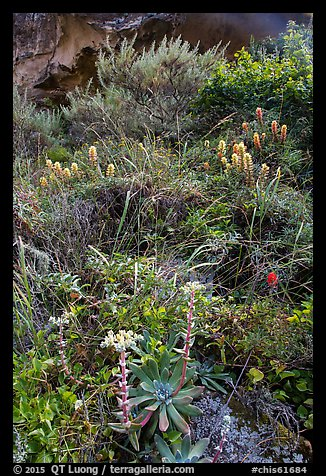 Lush slope with flowers and shrubs in Lobo Canyon, Santa Rosa Island. Channel Islands National Park (color)