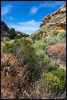 Flowers and rock formations, Lobo Canyon, Santa Rosa Island. Channel Islands National Park ( color)