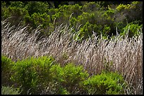 Reeds and green shrubs, Lobo Canyon, Santa Rosa Island. Channel Islands National Park ( color)