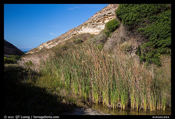 Reeds near the mouth of Lobo Canyon, Santa Rosa Island. Channel Islands National Park (color)