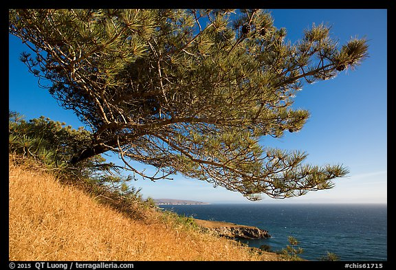 Torrey Pine and Black Point, Santa Rosa Island. Channel Islands National Park (color)