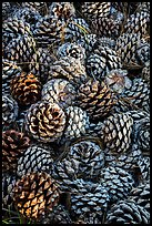 Fallen Torrey Pine cones, Santa Rosa Island. Channel Islands National Park ( color)
