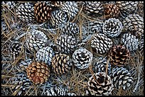 Torrey Pine cones and needles on the ground, Santa Rosa Island. Channel Islands National Park ( color)