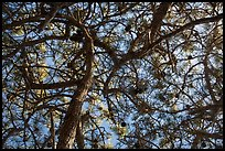 Looking up Torrey Pine, Santa Rosa Island. Channel Islands National Park ( color)