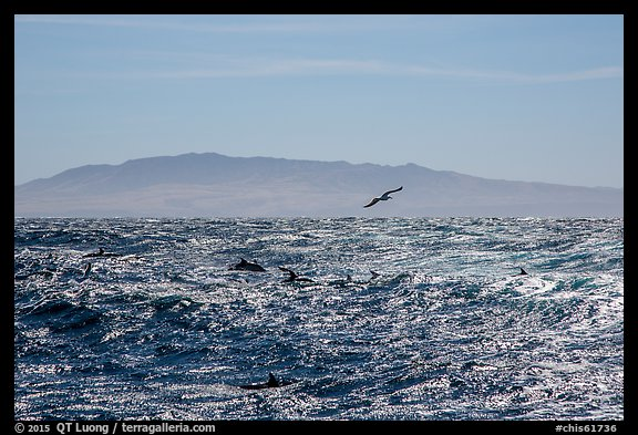 Pod of dolphins, seagall, and Santa Cruz Island. Channel Islands National Park (color)