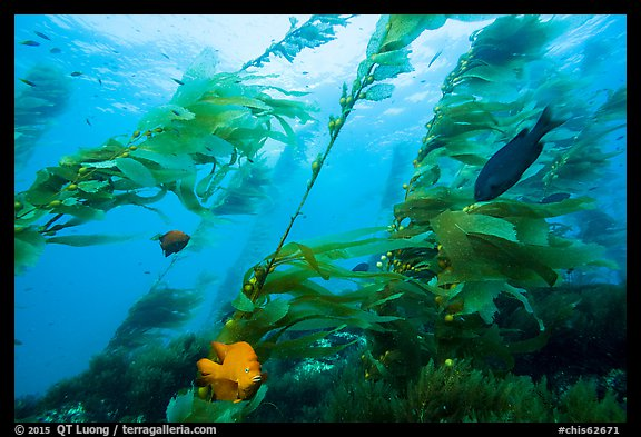 Fish and giant kelp plants, Santa Barbara Island. Channel Islands National Park (color)
