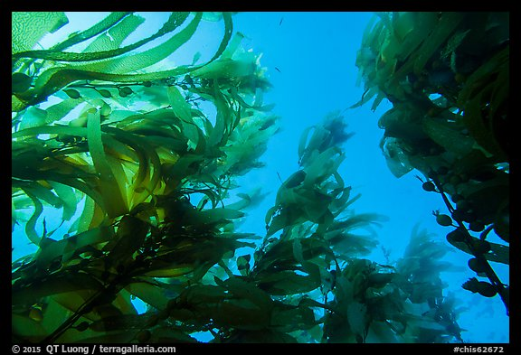 Looking up kelp canopy underwater, Santa Barbara Island. Channel Islands National Park, California, USA.
