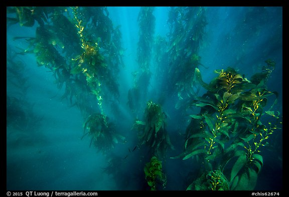 Sunrays looking down kelp forest, Santa Barbara Island. Channel Islands National Park (color)