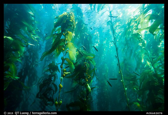 Kelp bed and fish, Santa Barbara Island. Channel Islands National Park (color)