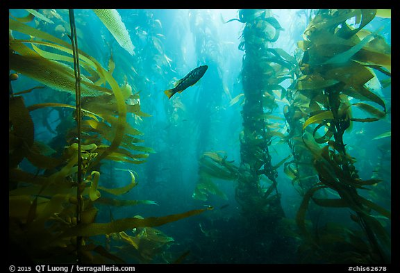 Fish in kelp forest, Santa Barbara Island. Channel Islands National Park (color)