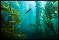 Fish in kelp forest, Santa Barbara Island. Channel Islands National Park ( color)