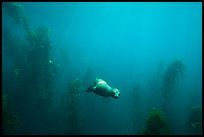 Sea lion and kelp plants, Santa Barbara Island. Channel Islands National Park ( color)