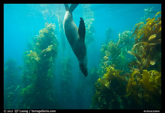 California sea lion diving in kelp forest, Santa Barbara Island. Channel Islands National Park (color)