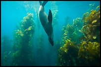 California sea lion diving in kelp forest, Santa Barbara Island. Channel Islands National Park ( color)