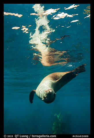 Sea lion swimming upside down with surface reflection, Santa Barbara Island. Channel Islands National Park (color)